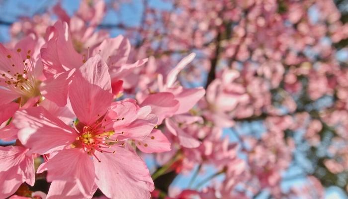 陽明山お花見